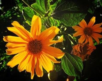Mexican Sunflower / Bolivian Sunflower - Tithonia diversifolia Fresh Cuttings for Propagation - sterile