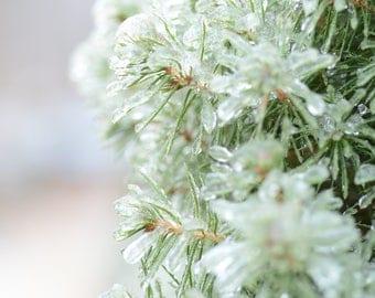 Icy pine needle tree fine art print photograph