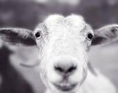 Smiling Goat Art Print, Animal Photography Print, Cute Animal Art Print, Black and White Photography, Farm Animal