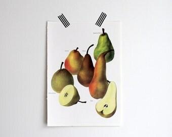Vintage Print  - Pears  - Book Plate  - 1965