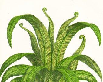 Harts Tongue Spleenwort Fern Antique Print . Original Botanical Plant Chromolithograph Vintage Plate Circa 1860 . Plate 300