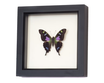 Real Framed Butterfly Display Graphium weiskei