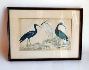 Antique Bird Engraving 1860s Hand-Tinted - A Fullarton & Co Edinburgh- Courcoux or Ibises - Framed Ornithological Print w/ Glass - Fullerton