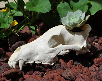 Beautiful Hand Made Arctic Wolf Skull Replica Cactus or Small Flower Pot