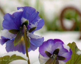 Purple Pansy Backs Flower Art - Deep Royal Purple and White springtime blossoms giclee photo print 8x12