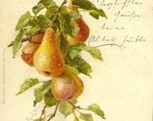 RESERVED LISITNG (KS) Antique Botanical Postcard Luscious Ripe Pears – Suitable For Framing – Druck Verlag Wezel & Naumann