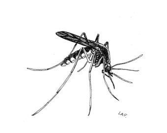 Mosquito Print- limited edition prints,prints of bugs, insect prints, mosquito art, black and white art, pen and ink drawing.