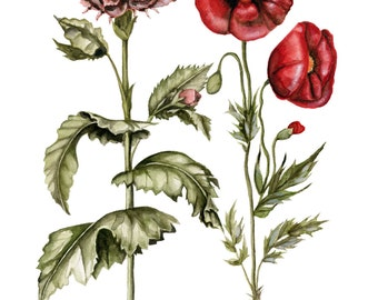 Poppy & Carnation Botanical Watercolor - PRINT