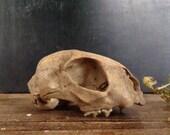 ON SALE Taxidermy cat skull