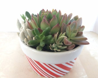 Succulent Plant. - Dish Garden Complete Arrangement planted in a Candy Cane Holiday Planter.