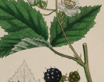 1873 Antique print of a BLACKBERRY PLANT, leaves, flowers and fruits. Berries. Bramble fruit. Rubus. 144 years old botanical print