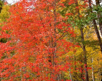 Autumn Photography, Red Autumn Leaves, Maple Leaves, Autumn Forest Print, Fall Pictures, Fall Photograph, Fall Color Print, Fall Foliage