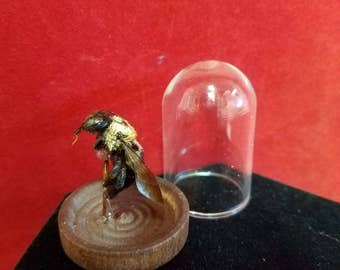 TAXIDERMY CARPENTER Bee w/ tongue out MINIATURE Glass Dome Display-entomology-insect bug stinger