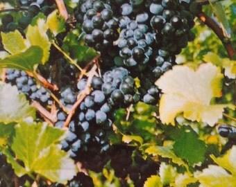 Black Spanish Grape Vine 1 Gal. Live Healthy Plant Grapes Plants Vineyards Garden Vineyard Grapes Vineyards Natural Antioxidants Gardens