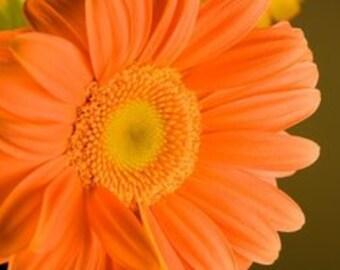 ADG) ORANGE with YELLOW Eye Gerbera Daisy~Seed!!~~~~~Fun & Sunny Blossoms!