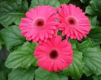 ADGR) REVOLUTION NEON Rose Gerbera Daisy~Seed!!~~~~~Whimsical Borders!