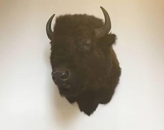Taxidermy Shoulder Mount Bison