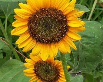 Sunflowers-Dwarf Sunspot- 100 Seeds each pack