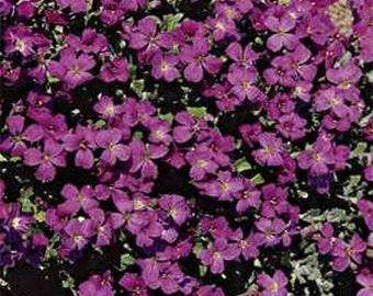 Rockcress-Hendersonii-(Aubrieta)- 100 Seeds