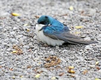 Tree Swallow Photo | Bird Photography | Blue Nature Wall Decor | Marsh Lake Art | FeatherWindStudio | Blue Bird Print