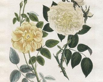 Vintage Rose Botanical, Antique Botanical Print, Yellow Rose Art Print,  Kitchen Art, Farmhouse, Antique Art, Wall Decor, Cottage Art