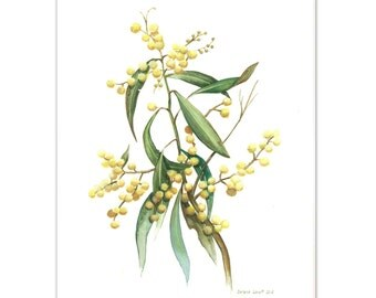 Australian Wattle Watercolour painting - Limited edition print (100 only)