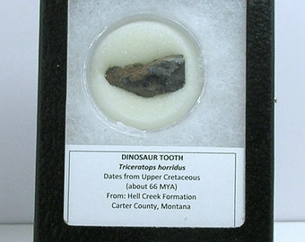 Fossil Triceratops Tooth; Horned Dinosaur Tooth