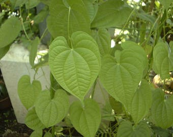 Air Potato Vine (Dioscorea bulbifera) Fast Growing Yam Tubers By The Pound