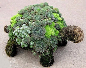 DIY Succulent Turtle KIt!