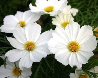 Pure White Bipinnatus Sensation Cosmos Flower Seeds / Annual / 35+