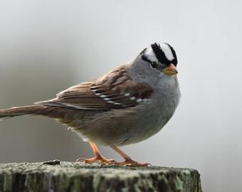 White Crown Sparrow, Sparrow, Bird Photography, Color Photo