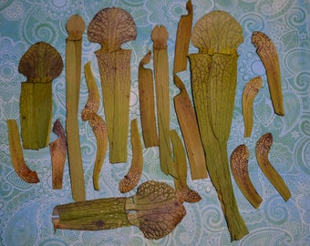 Pressed pitcher plants, lot of 20