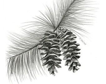 "Pinecones. A 8.5"" x 11"" print of an original Pencil drawing."