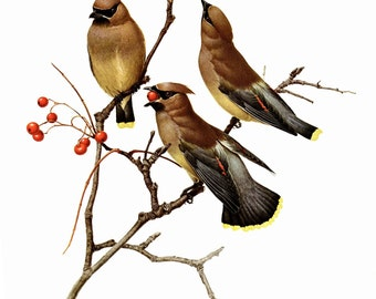 "The Cedar Waxwing painted by J F Landsdowne for the book Birds of the Eastern Forest:2 The page is approx. 9 1/2"" wide and 13"" tall."