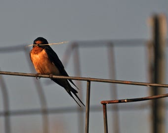 Swallow on the outpost