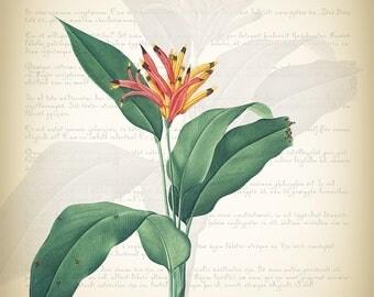 Botanical Art Print - Vintage Botanical Print - Heliconia psittacorum Illustration Print - Redoute' Botanical Print - Nature  Art Print