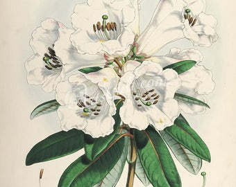 flowers-16496 - rhododendron dalhousiae White Rhododendron vintage illustration digital printable print picture public domain scan image jpg