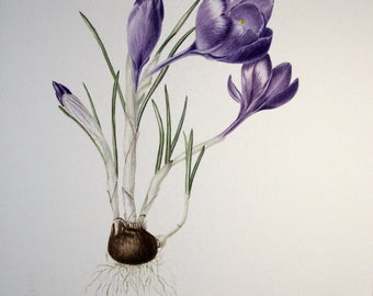 Crocus vernus original botanical illustartion, crocus painting, flower painting, botanical art, artwork, aquarelle, flower illustaration art