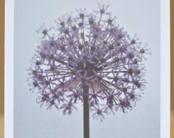Allium - photographic postcard