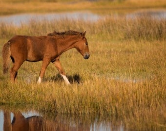 Foal in Assateague Bay Photo - 11x14 Color Horse Equine Photography Print - Assateague Island Art