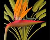 antique french botanical print tropical flower bird of paradise black background illustration digital download
