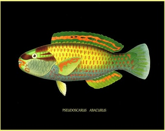 antique french ichtyology tropical fish pseudoscarus abacurus illustration black background digital download