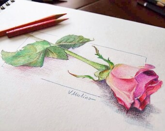 Pink Rose Colored Pencil Drawing On Paper