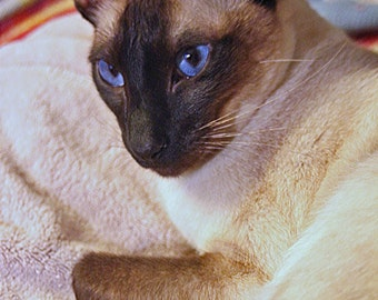 Cat Photography, Animal Photography, Pet Photography, Siamese Cat Photo,  Wall Art, Home Decor