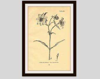 """Antique Botanical Illustration, Flower Print, 5"""" x 7.75"""", Vintage Wall Art, Floral, Cottage Decor, Wildflower, Larger Bur Marigold (185)"""