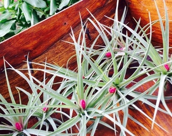 Stricta Air Plant ~ Tillandsia Aeranthos Stricta Air Plant  - Pink Bloom ~ 6 - 9 inches ~ No soil needed ~ May Not be in Bloom ~ Plant only