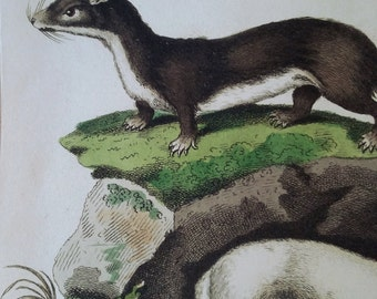 Ermine and Otter Print 1812, Original Hand Colored Engraving, Antique Zoological Print, Made in London