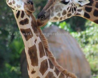 Giraffe Photo  Print at home/ quick gift / giraffe animal photography