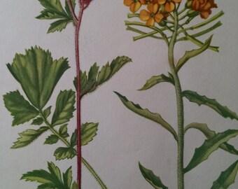 Purple avens & Western Wallflower, antique botanical litho print, 1954