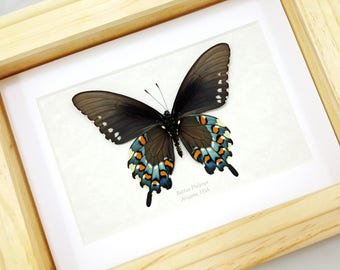 FREE SHIPPING Framed Real Battus Philenor Pipevine Swallowtail or Blue Swallowtail Taxidermy High Quality A1 Mounted